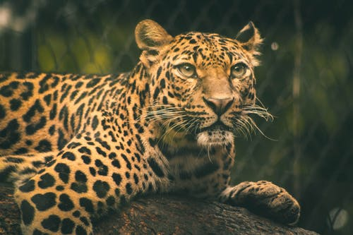 Selective Focus Photography of Leopard