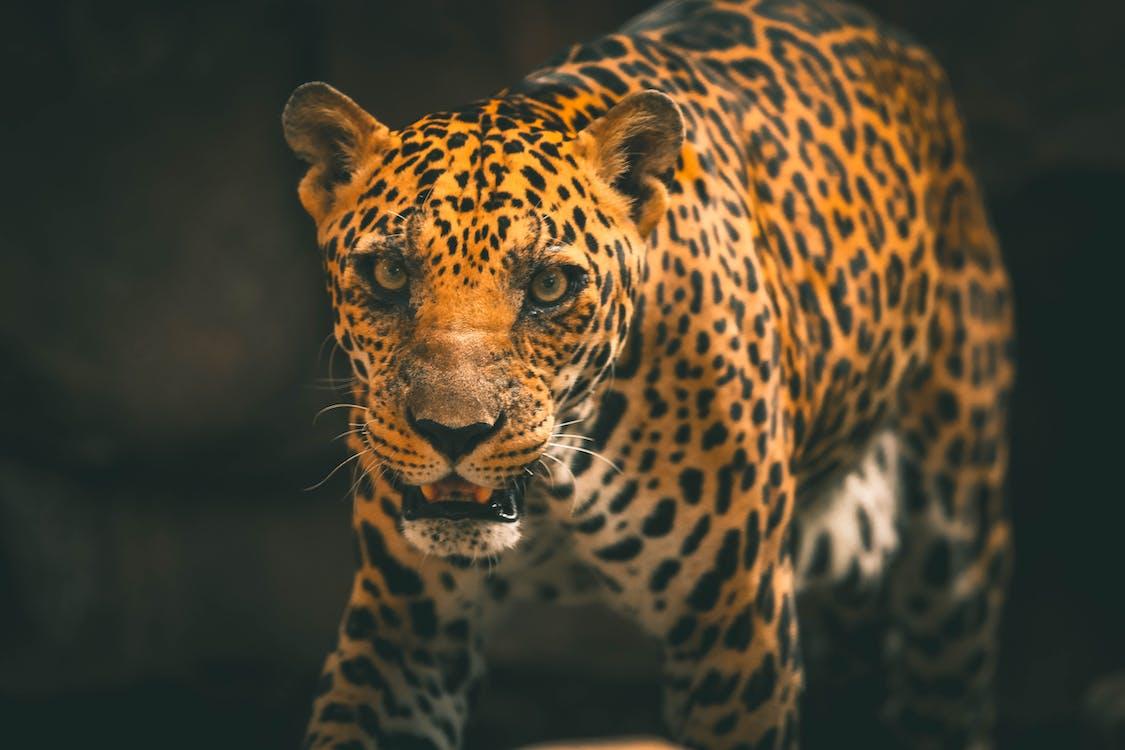 drapieżnik, dzika przyroda, dziki kot