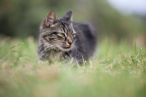 Ilmainen kuvapankkikuva tunnisteilla eläin, katsominen, kissa, lähikuva