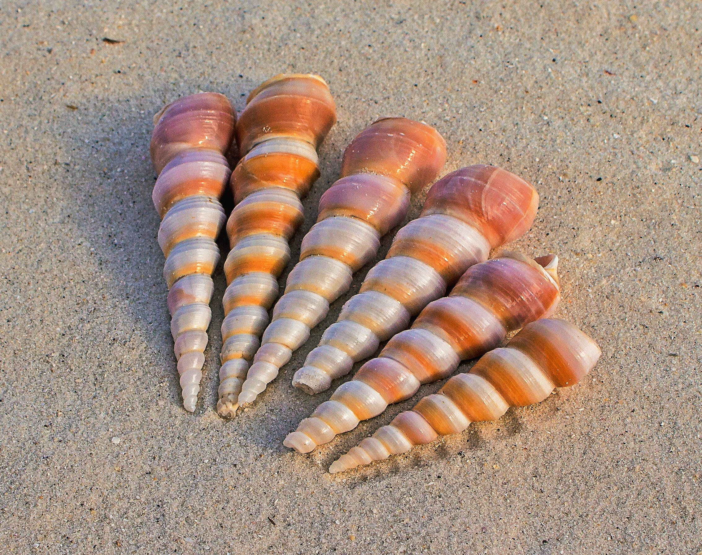나선형, 모래, 바다 조개, 소라고둥의 무료 스톡 사진