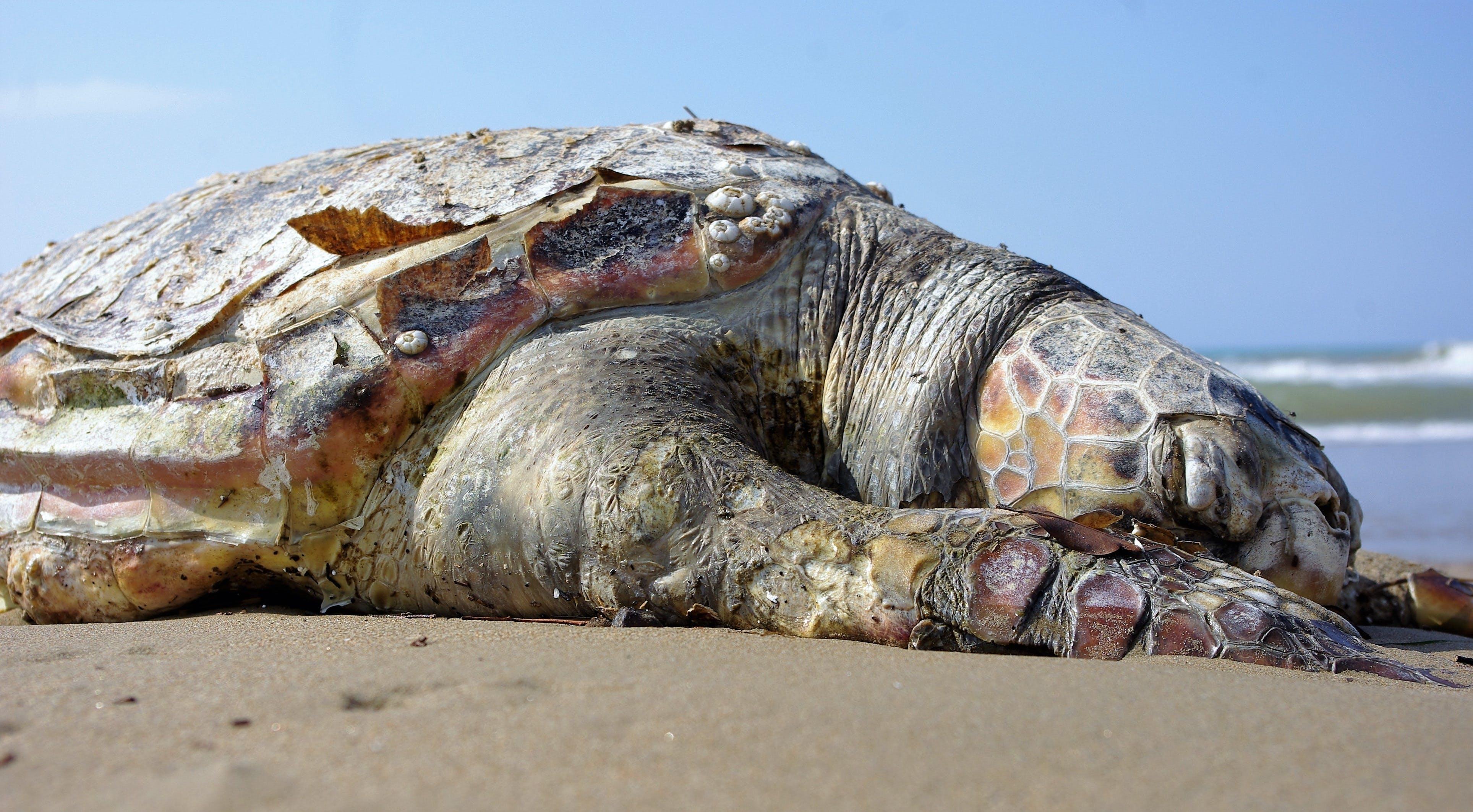 Kostenloses Stock Foto zu kreatur, küste, meer, meeresschildkröte