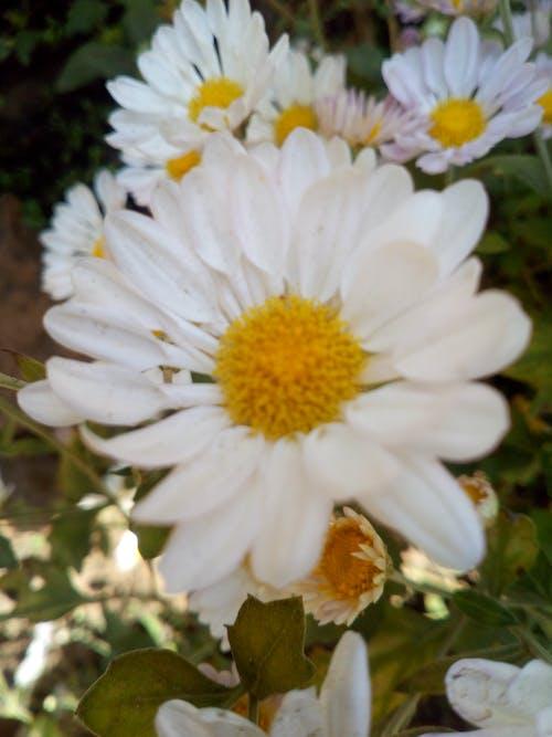 白色的花, 背景圖片 的 免费素材照片