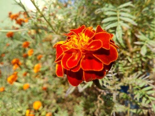 紅花, 背景圖片 的 免费素材照片