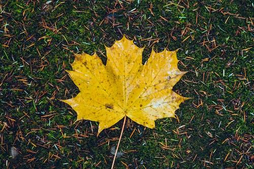 Δωρεάν στοκ φωτογραφιών με κίτρινα φύλλα, κίτρινο φύλλο σφενδάμου, μονό φύλλο, φύλλο στο έδαφος