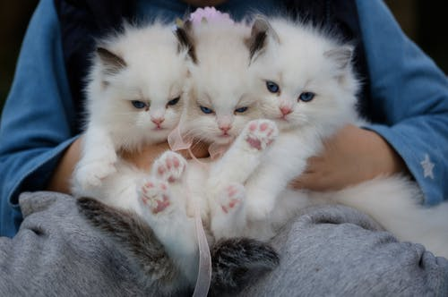 Close-Up Photo of a Hand Holding Three White Kittens