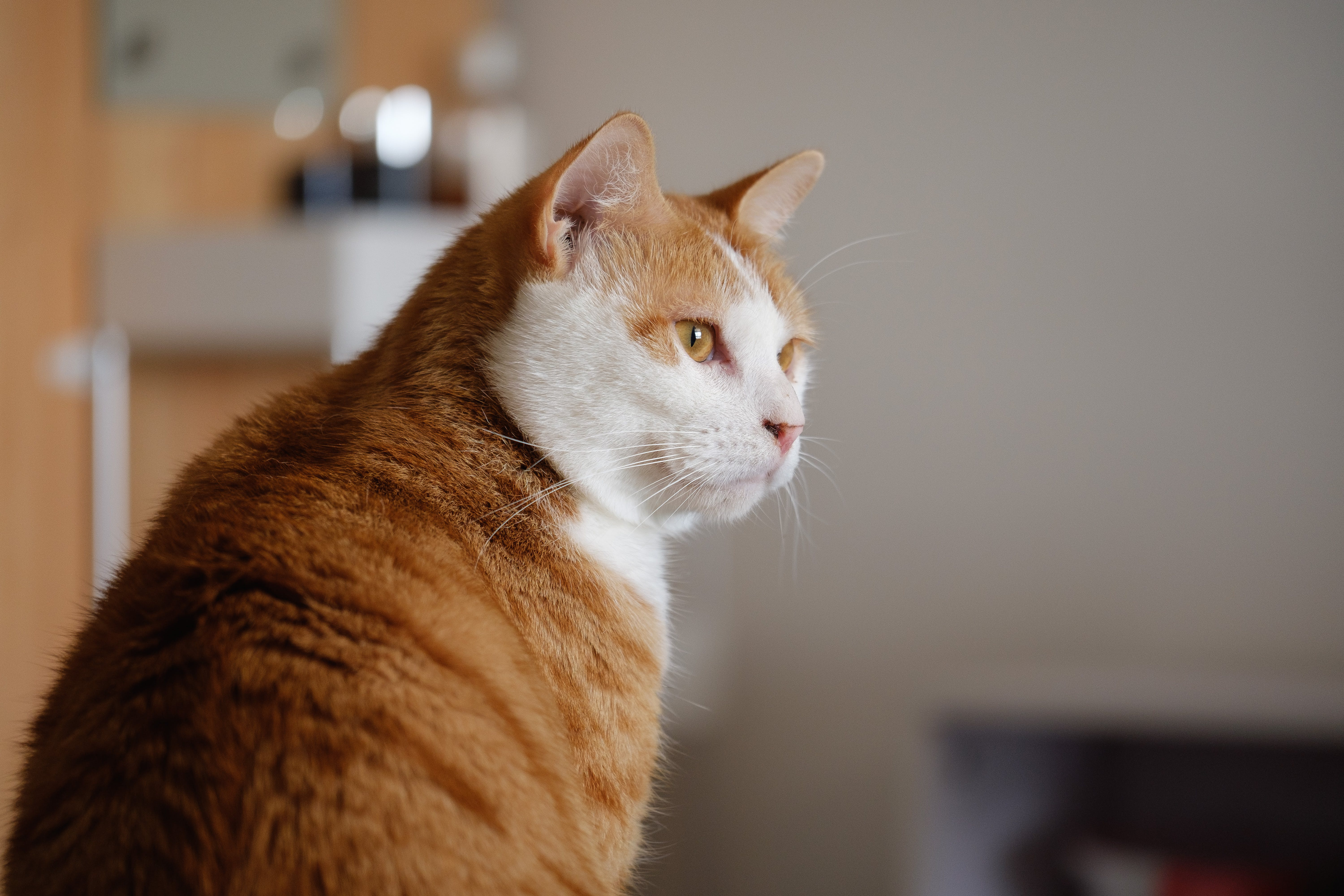 Photo of Short-haired Orange and White Cat