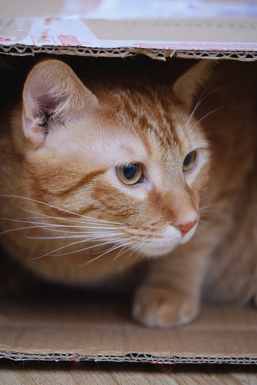 Orange Tabby Cat Inside Cardboard Box