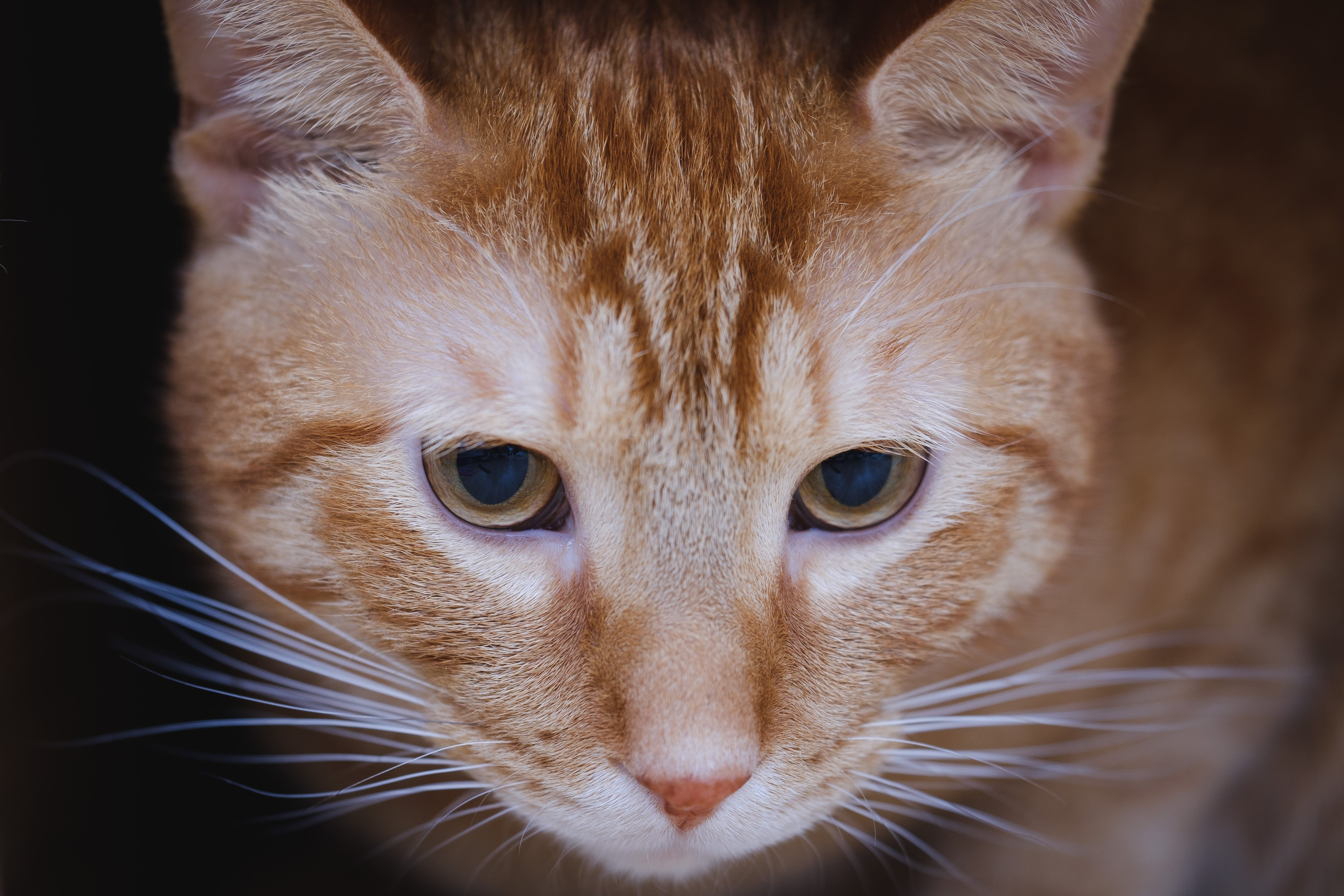 Gratis stockfoto met aanbiddelijk, beest, close-up, felidae