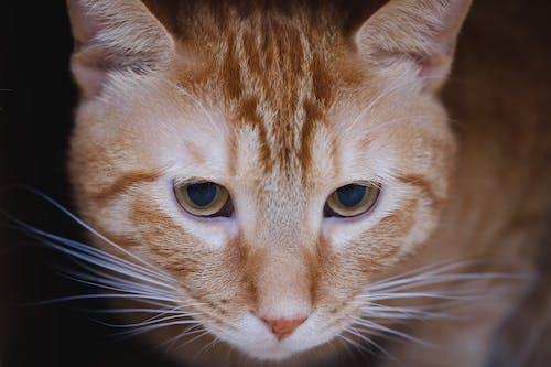 Gratis lagerfoto af close-up, dyr, hoved, huskat