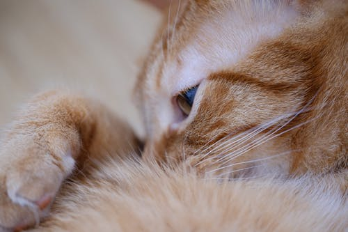 Close-up Photo of Orange Tabby Cat Lying on Its Hand