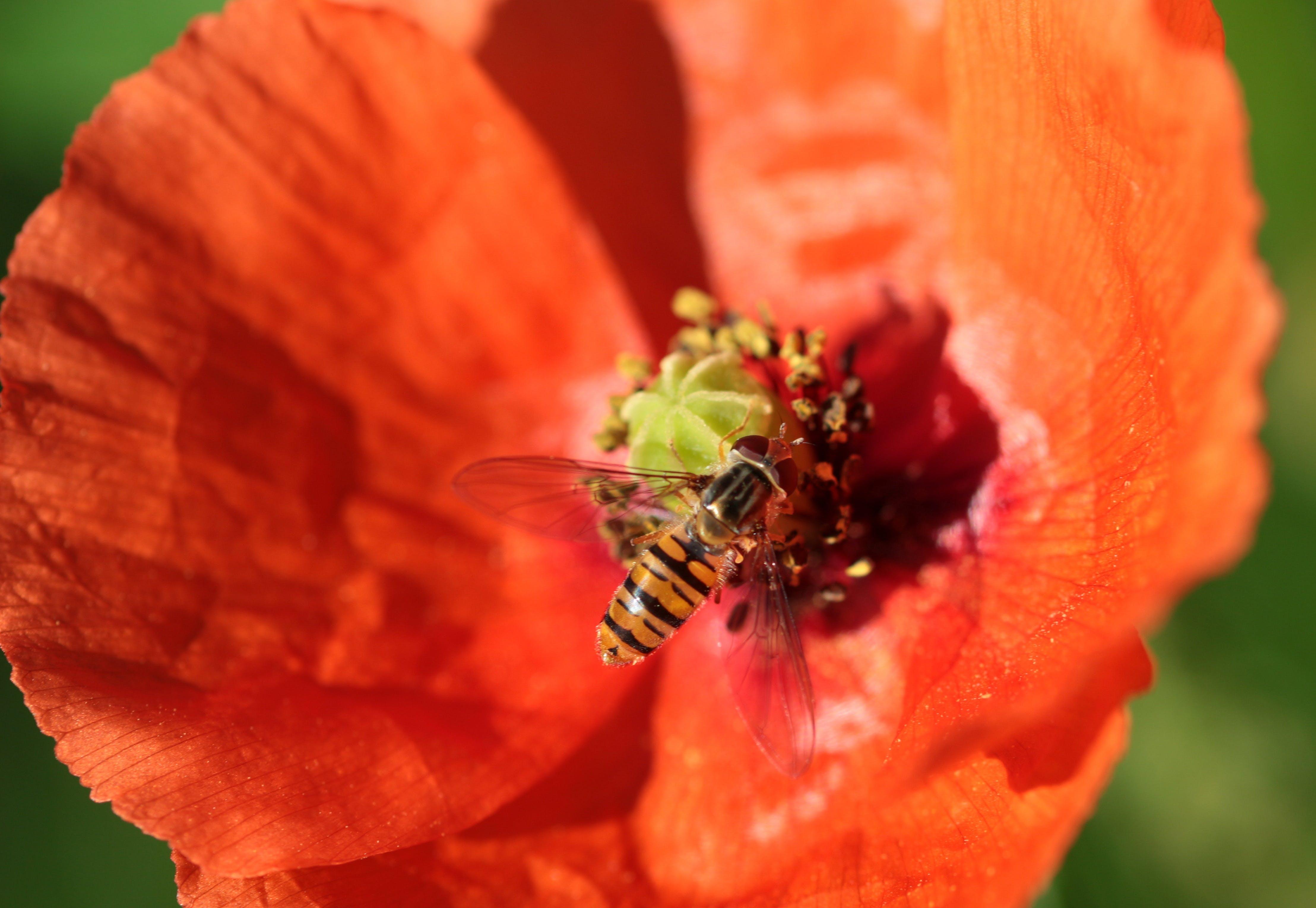 Free stock photo of house feldwespe, klatschmohn, nectar, nectar search