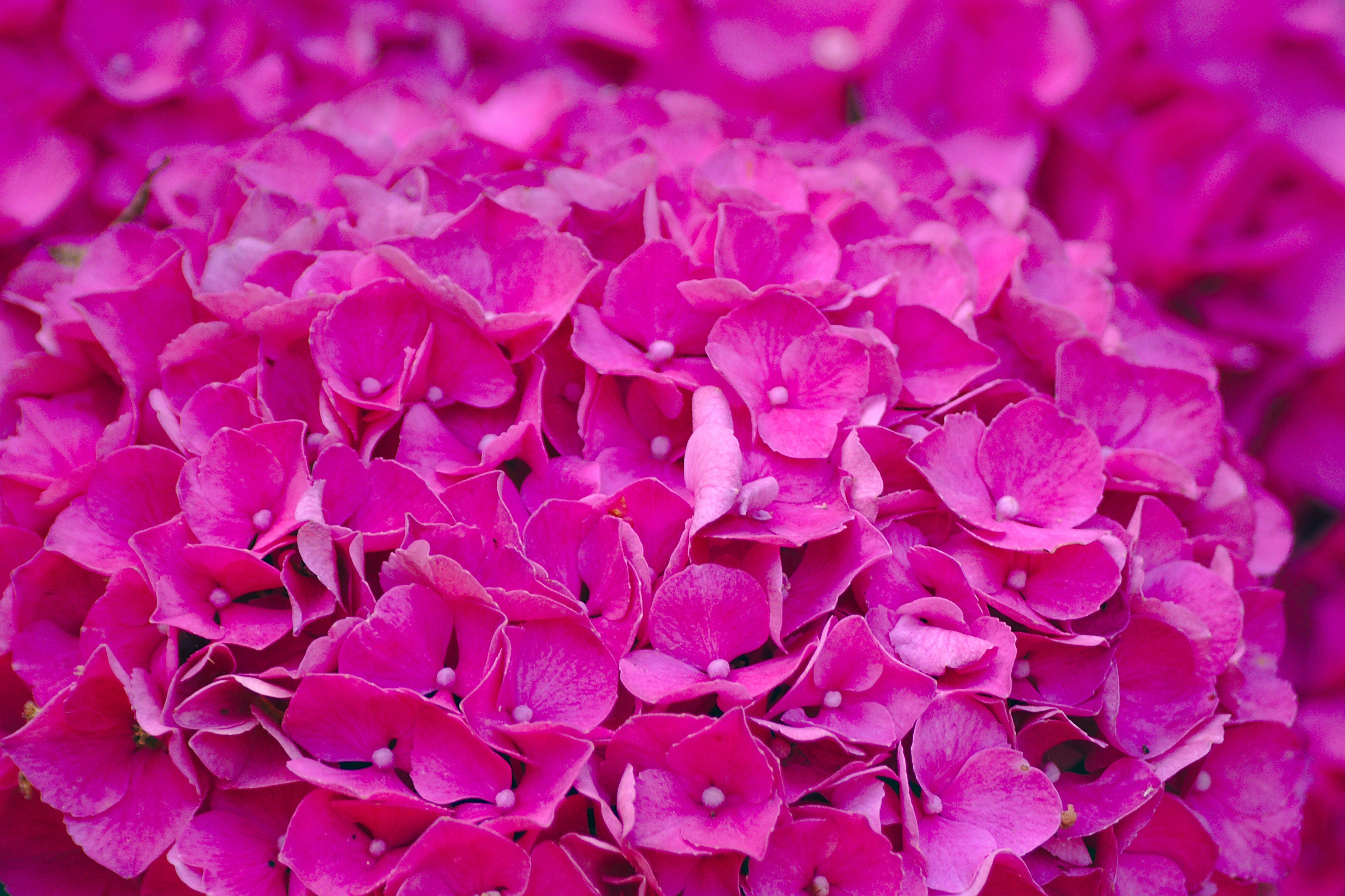 Free stock photo of flowers, horticulture, pink flowers, pink wallpaper