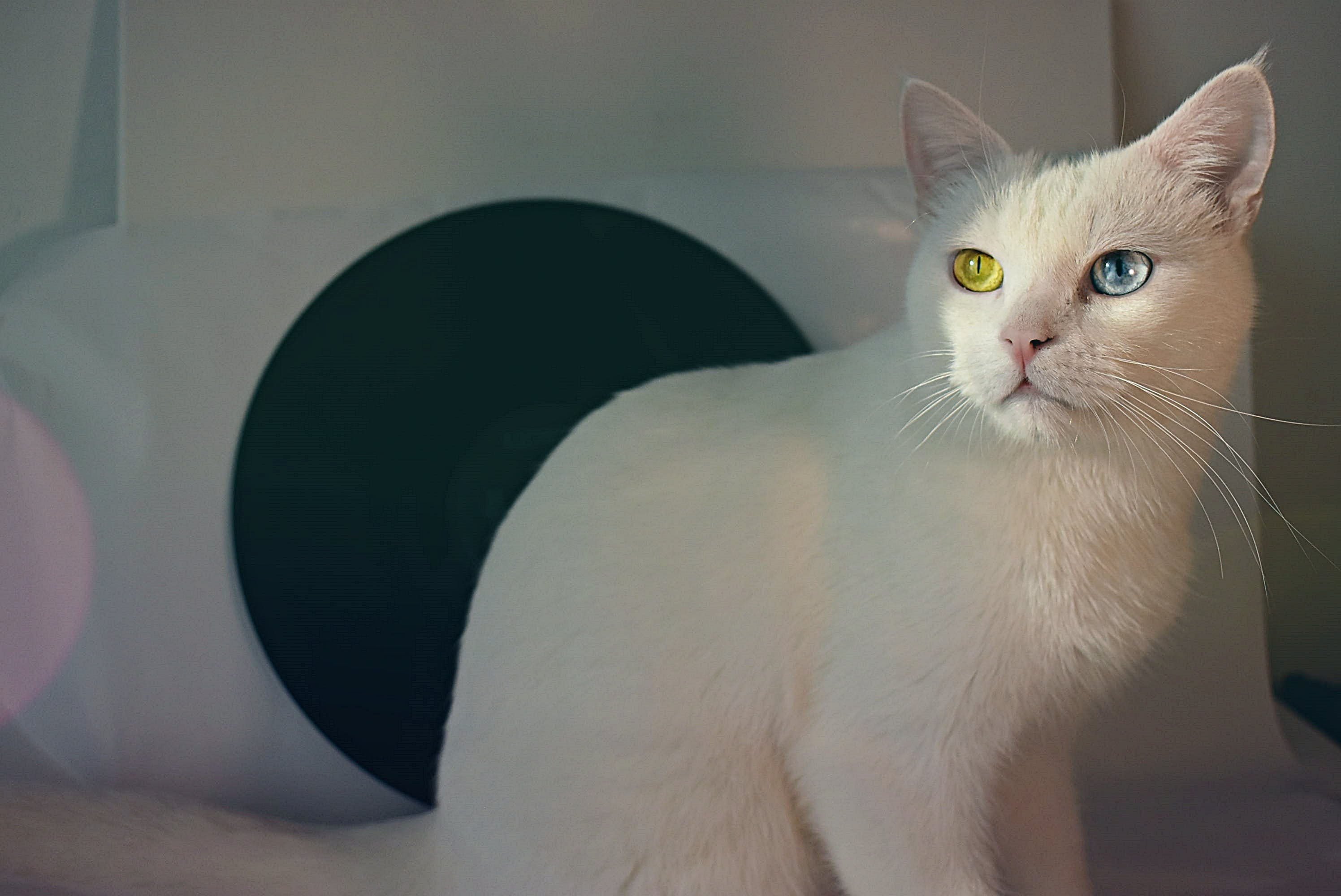 Short-coated White Cat