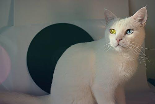 Δωρεάν στοκ φωτογραφιών με αιλουροειδές, αξιολάτρευτος, άσπρη γάτα, βλέπω