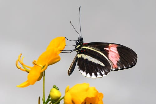 Black Pink and White Butterfly Perched on Yellow Flower Petal