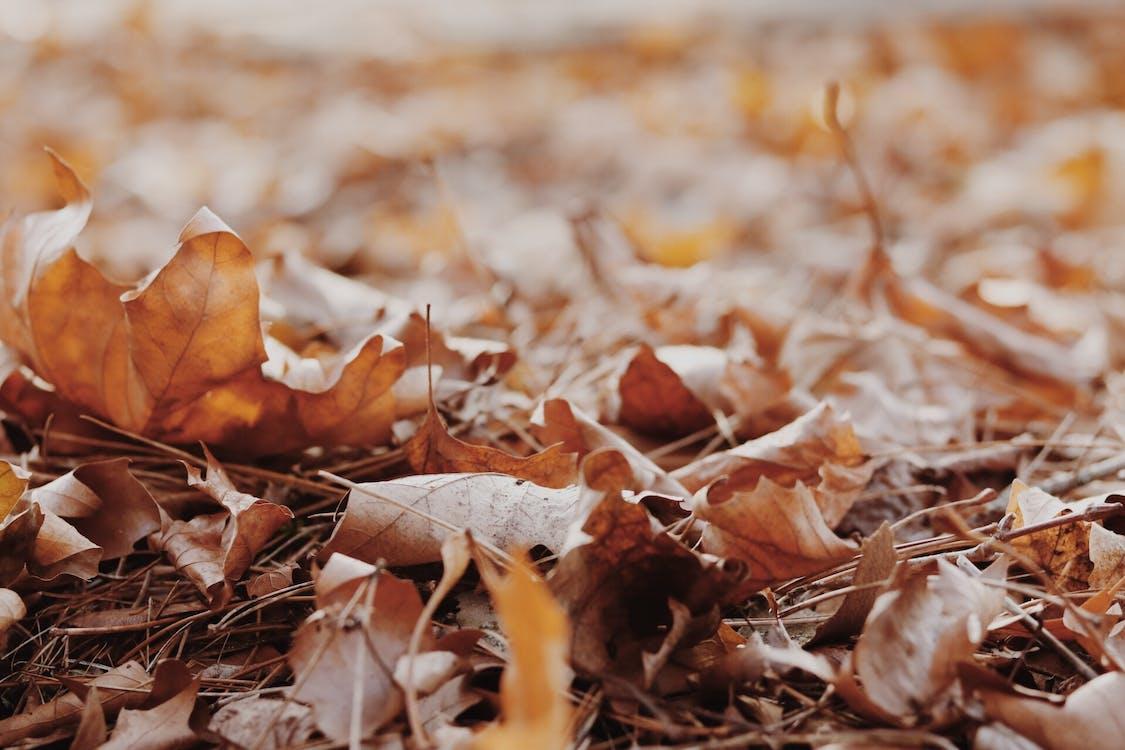 jauhettu, kuiva, kuivat lehdet