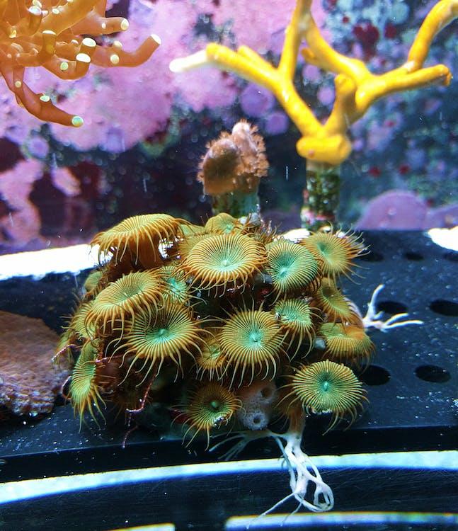 akvarium, akvatisk, korall
