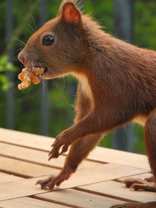 คลังภาพถ่ายฟรี ของ กระรอก, การกิน, การถ่ายภาพสัตว์, น่ารัก