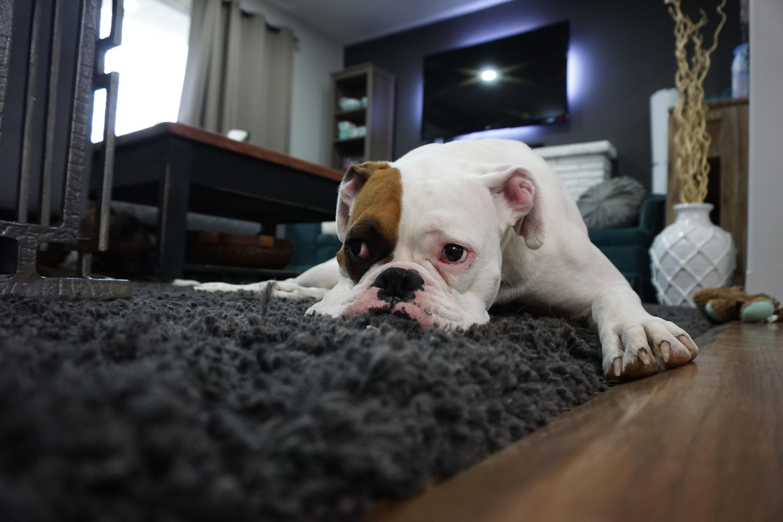 White And Tan English Bulldog Lying On Black Rug Free Stock Photo