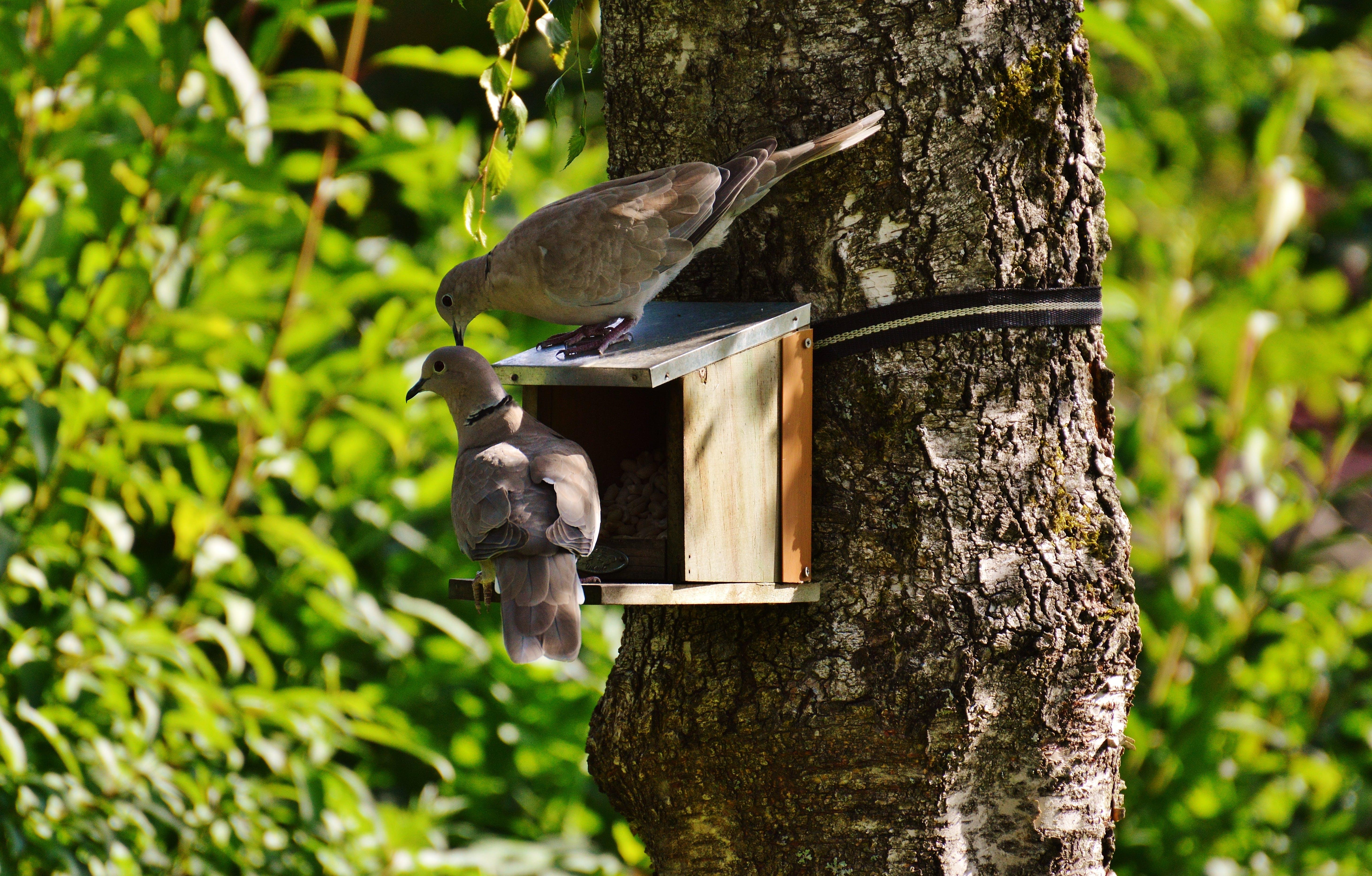 2 Brown Pigeons on Brown Tree during Daytime