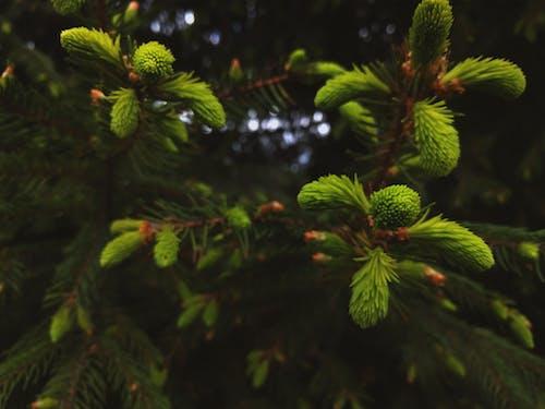 Gratis lagerfoto af close-up, fyrretræ, gren, plante