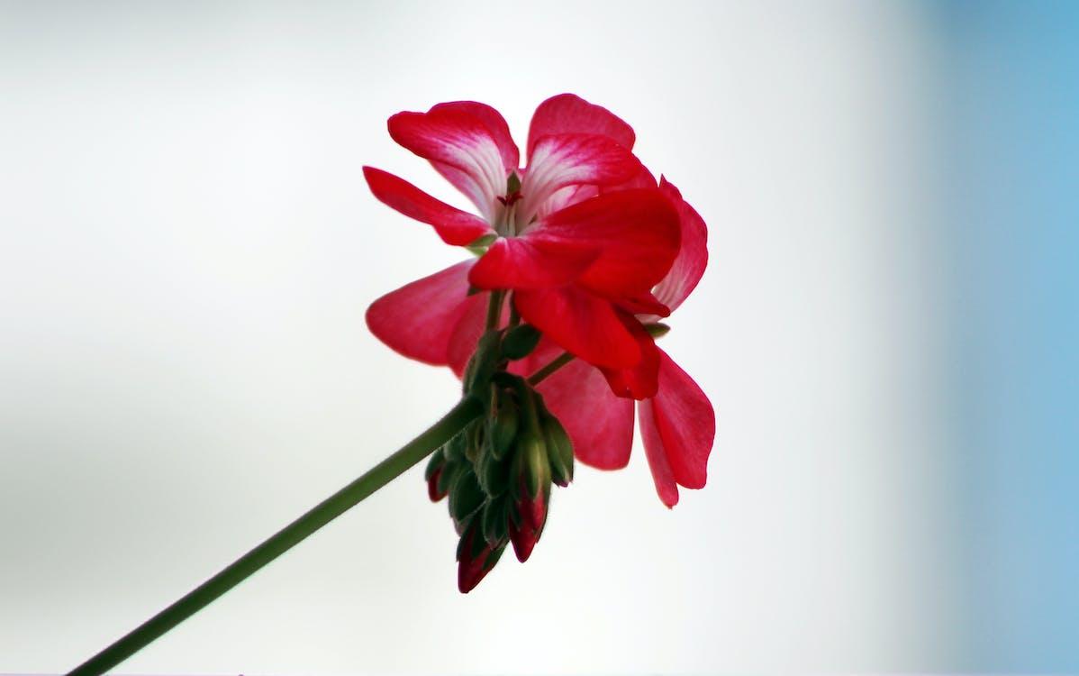 blomst, geranie, geranium