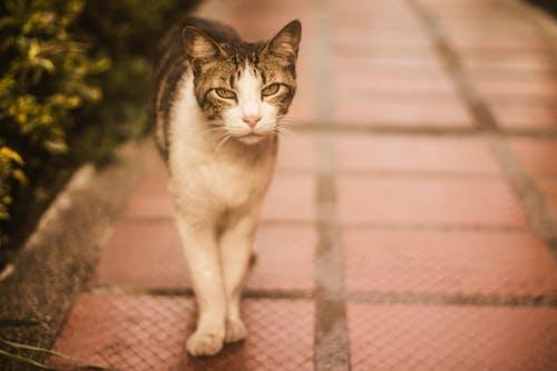 Gratis lagerfoto af dyr, hvid kat, kat, vildkat