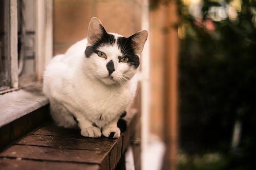 Gratis lagerfoto af hvid kat, kat, katte, katteansigt