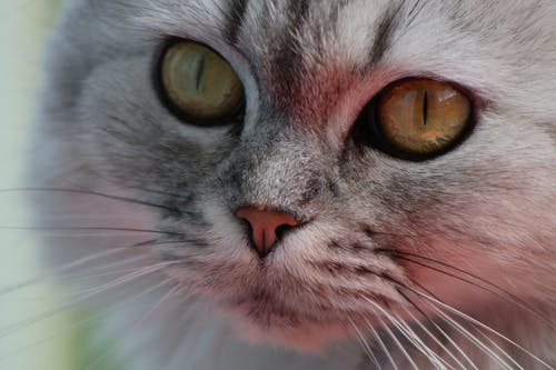 Free stock photo of cat, cat face, Persian cat