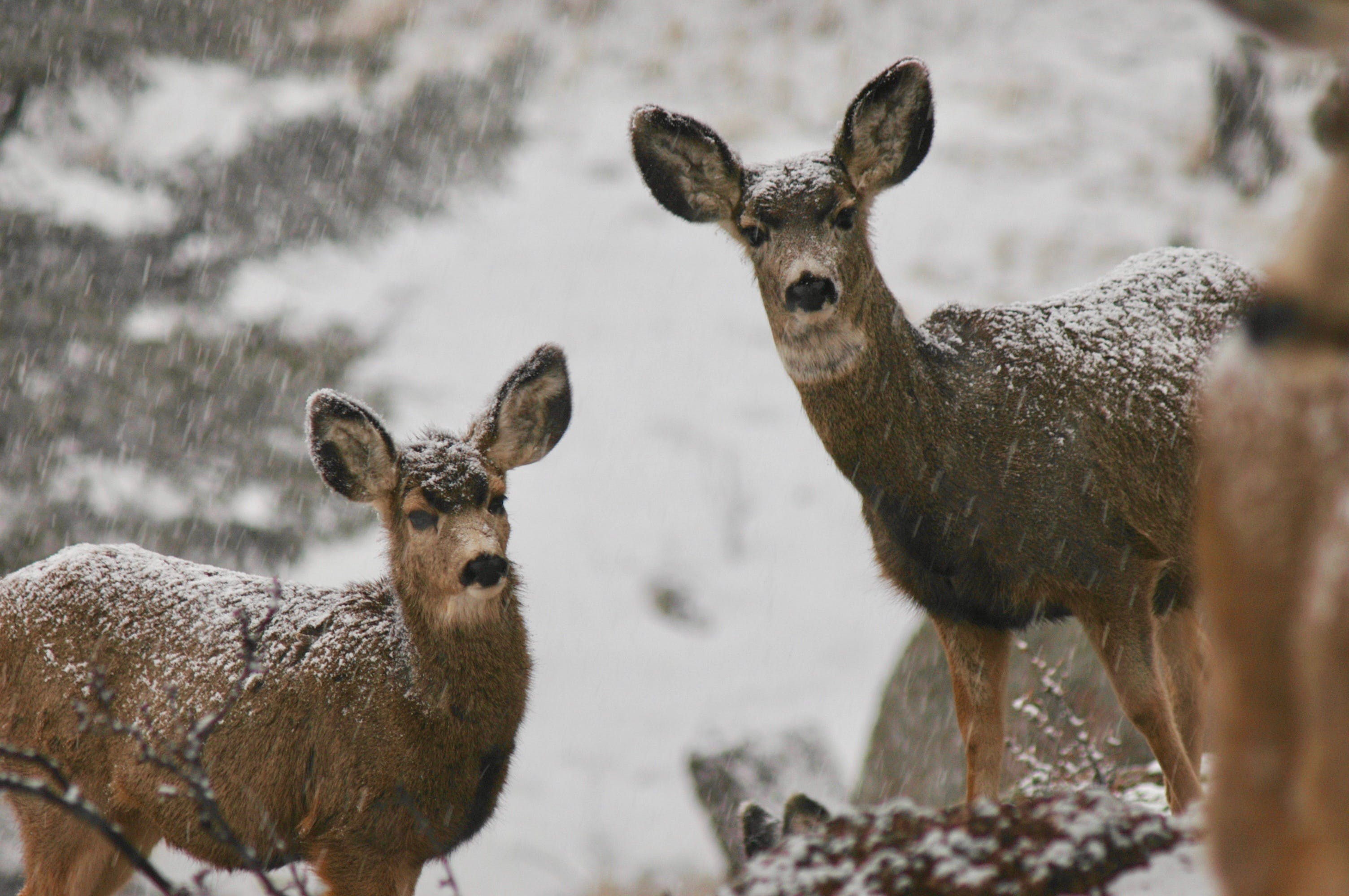 Two Deers in Snowy Field