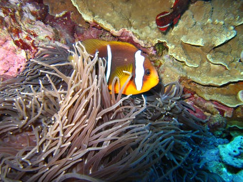 Free stock photo of Clown fish, diving, guam, sea anemone