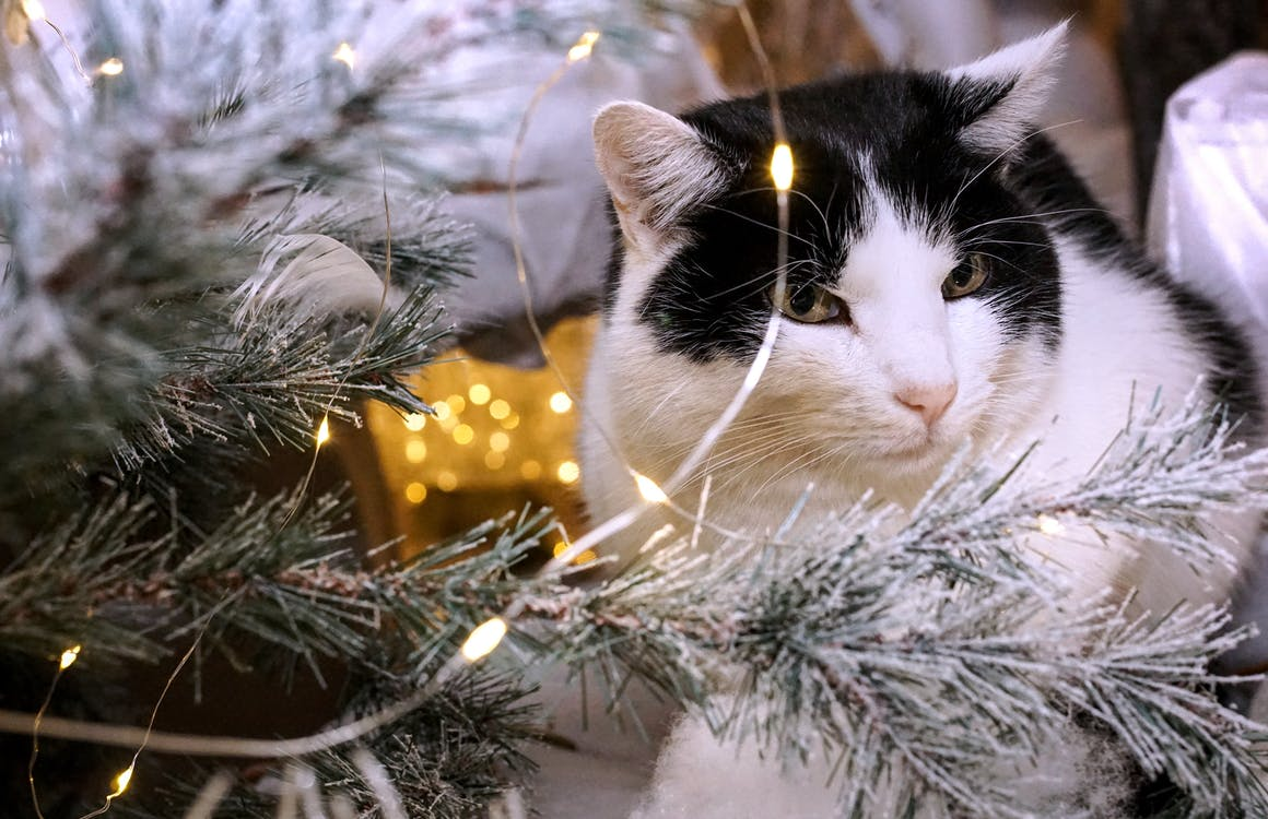 White and Black Cat Beside Christmas Tree With String Lights