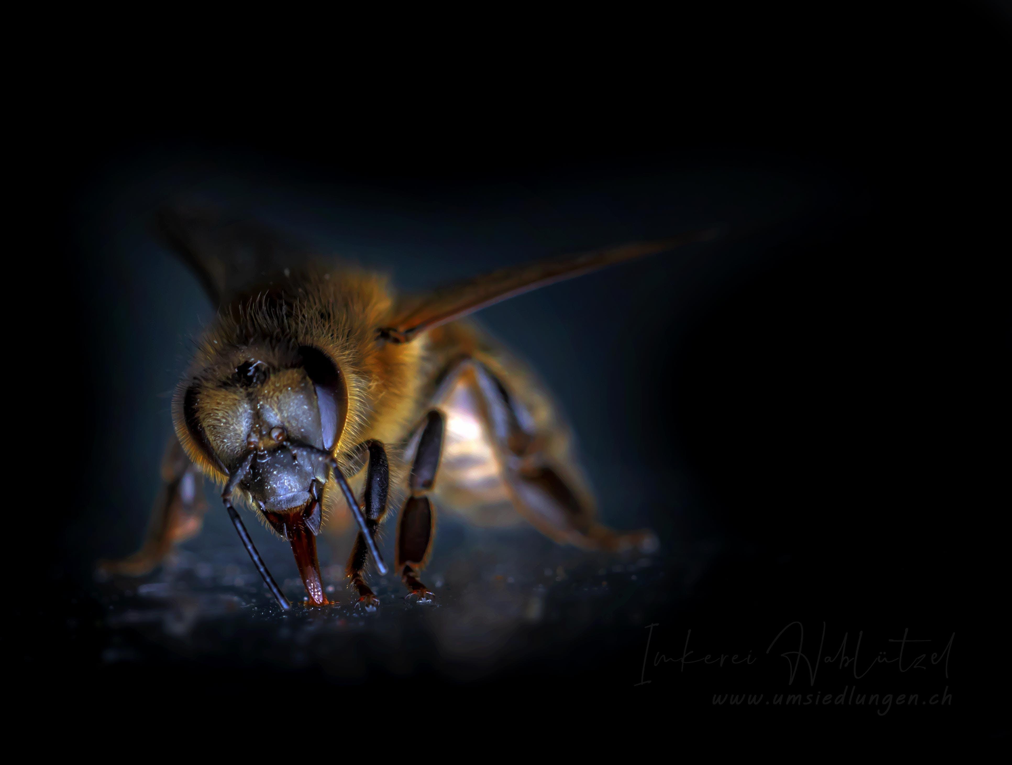 Free stock photo of bee, bees, honey bee, honey bees