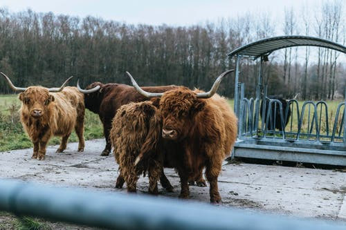 Four Brown Yaks Standing Near Shed