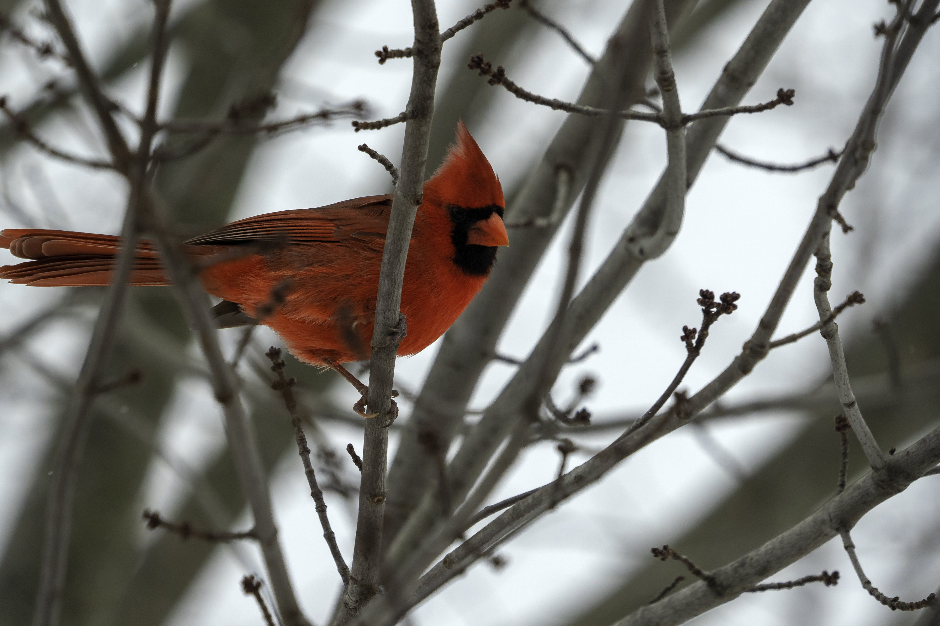Free stock photo of beauty in nature, bird, cardinal, male