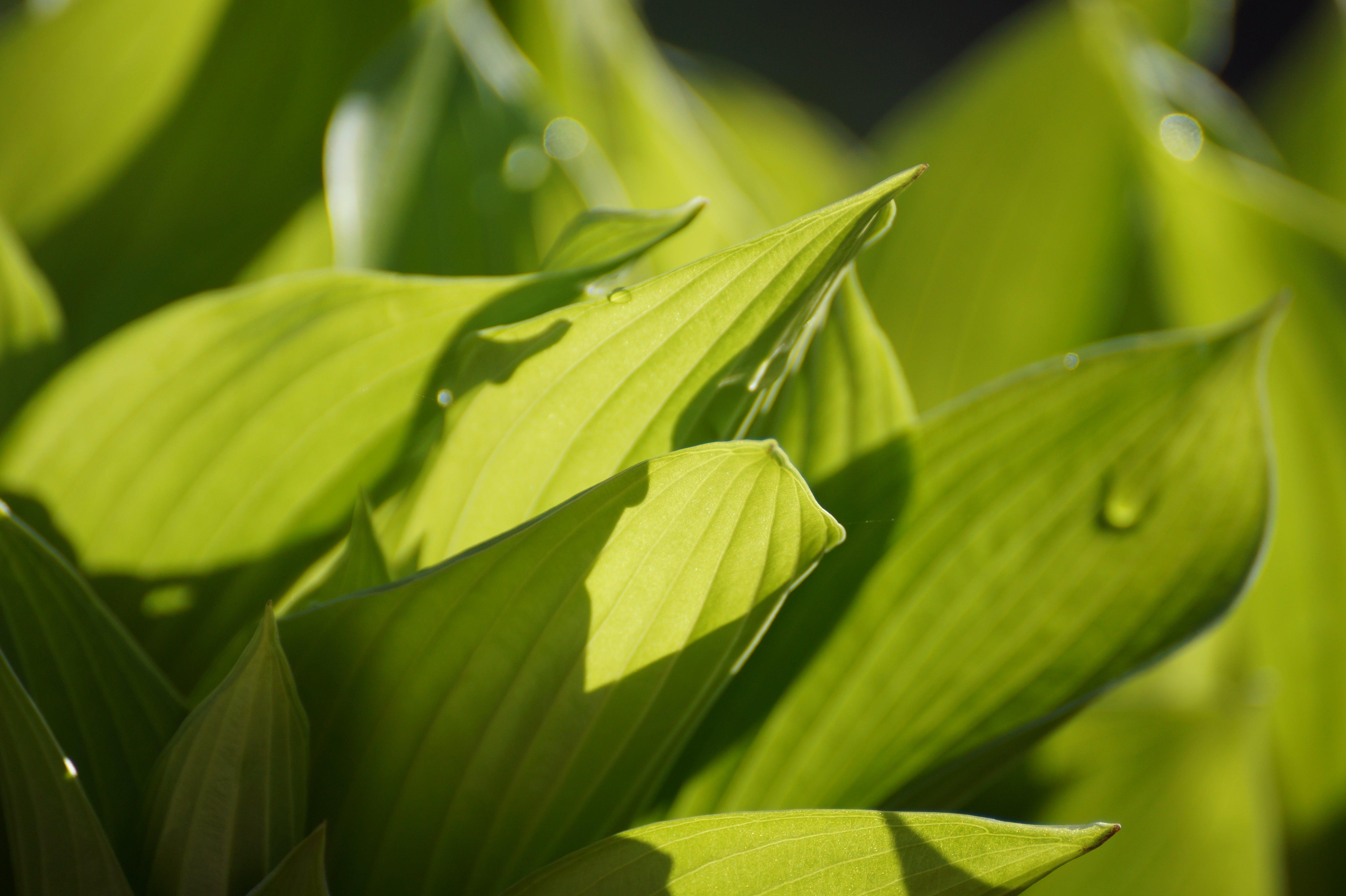 Kostenloses Stock Foto zu blätter, grün, makro, nahansicht
