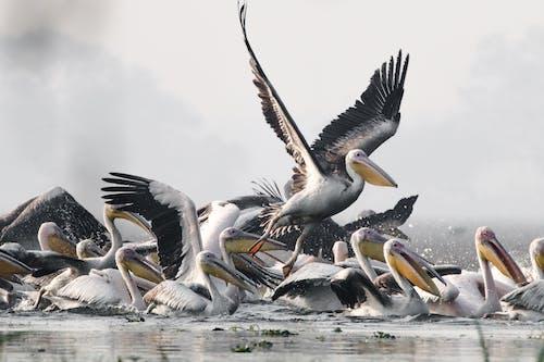 hayvan fotoğrafçılığı, hayvanlar, pelikanlar, vahşi yaşam içeren Ücretsiz stok fotoğraf