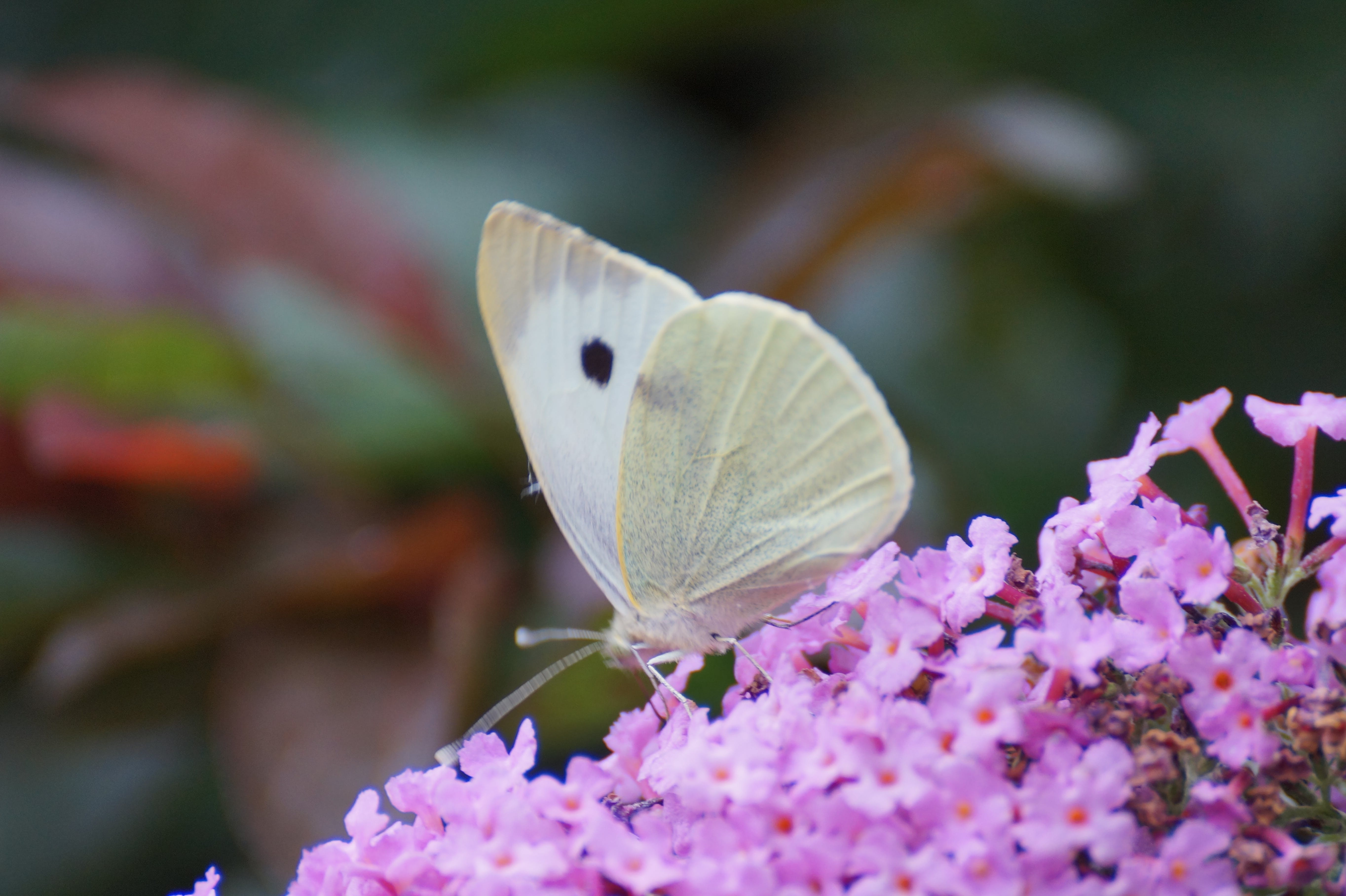 Free stock photo of butterfly