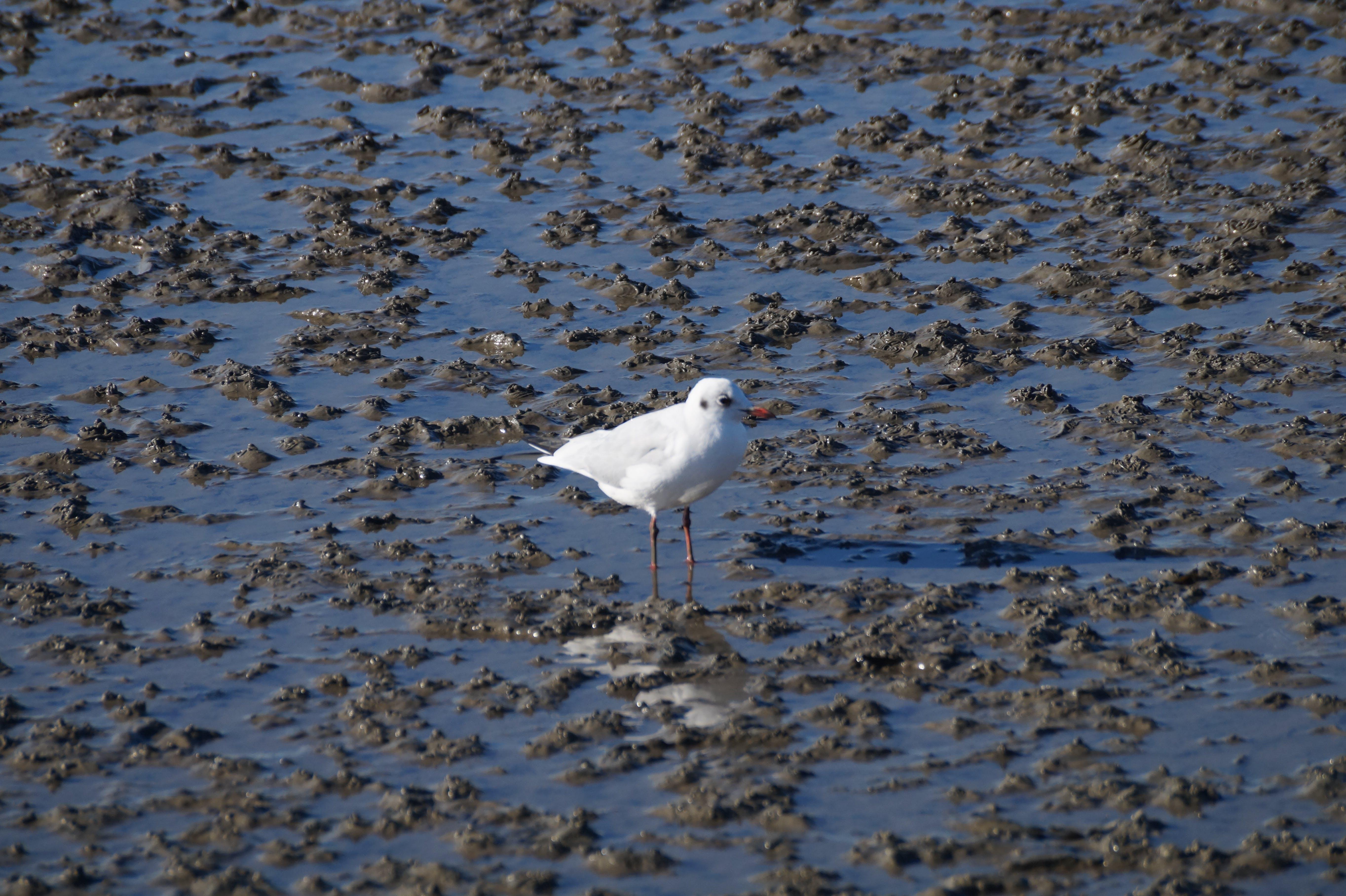 Free stock photo of seagull, watt