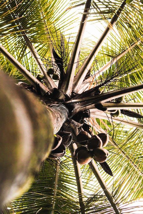 árbol, coco, cocotero