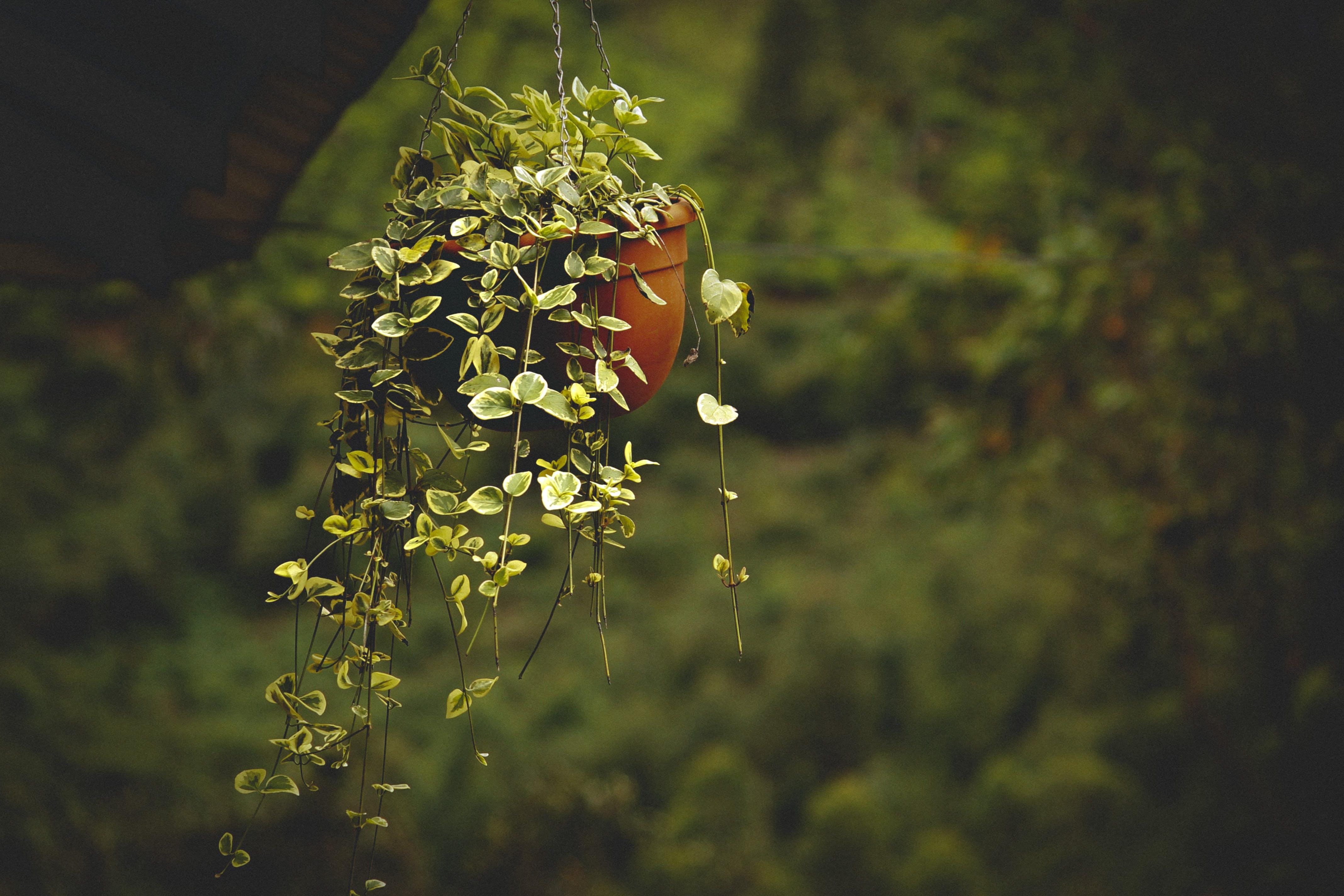 Бесплатное стоковое фото с висячий, горшечное растение, завод, максросъемка