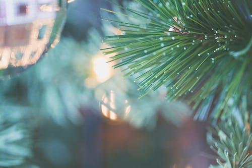 Gratis lagerfoto af close-up, gren, makro, nåletræ