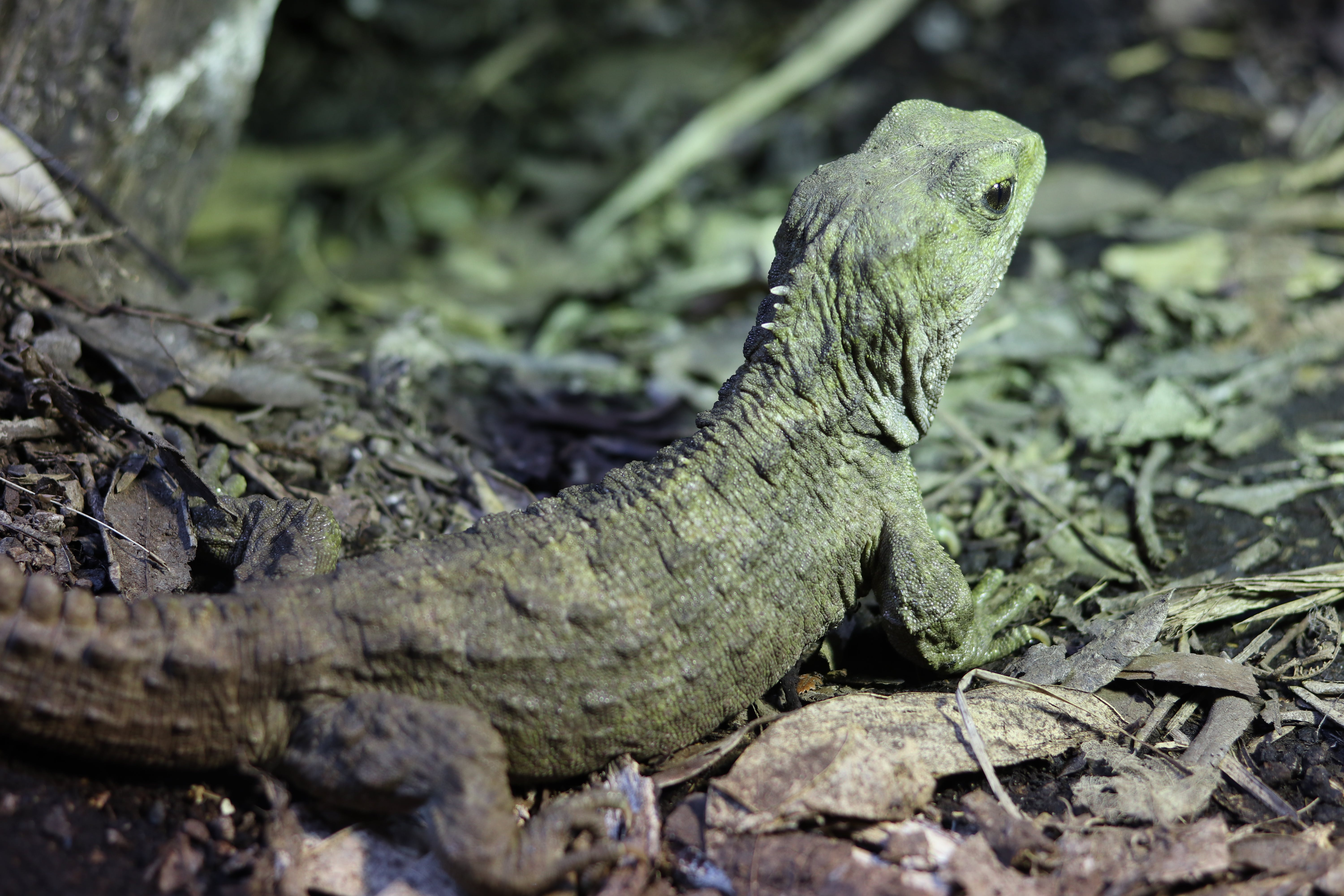 Free stock photo of animal, animal park, beauty in nature, lizard
