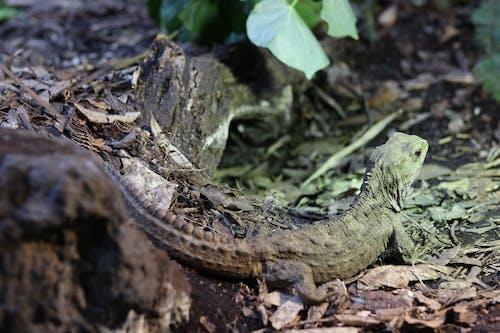 Základová fotografie zdarma na téma ještěrka, krása v přírodě, nový zéland, zoo