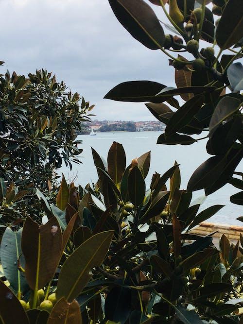 Foto stok gratis #australia #sydney #tree #leafs #water