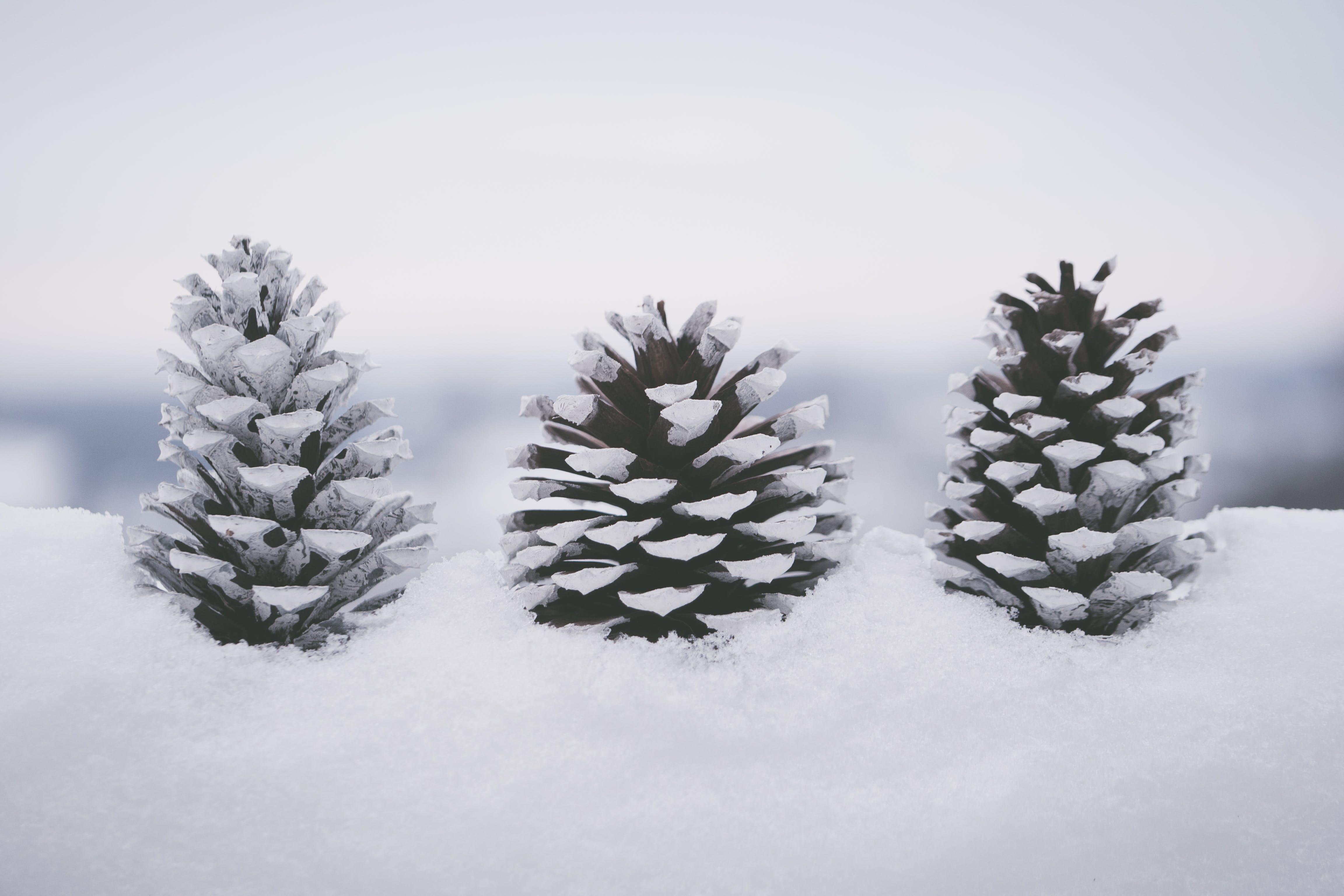 Snow Covered Pine Cones