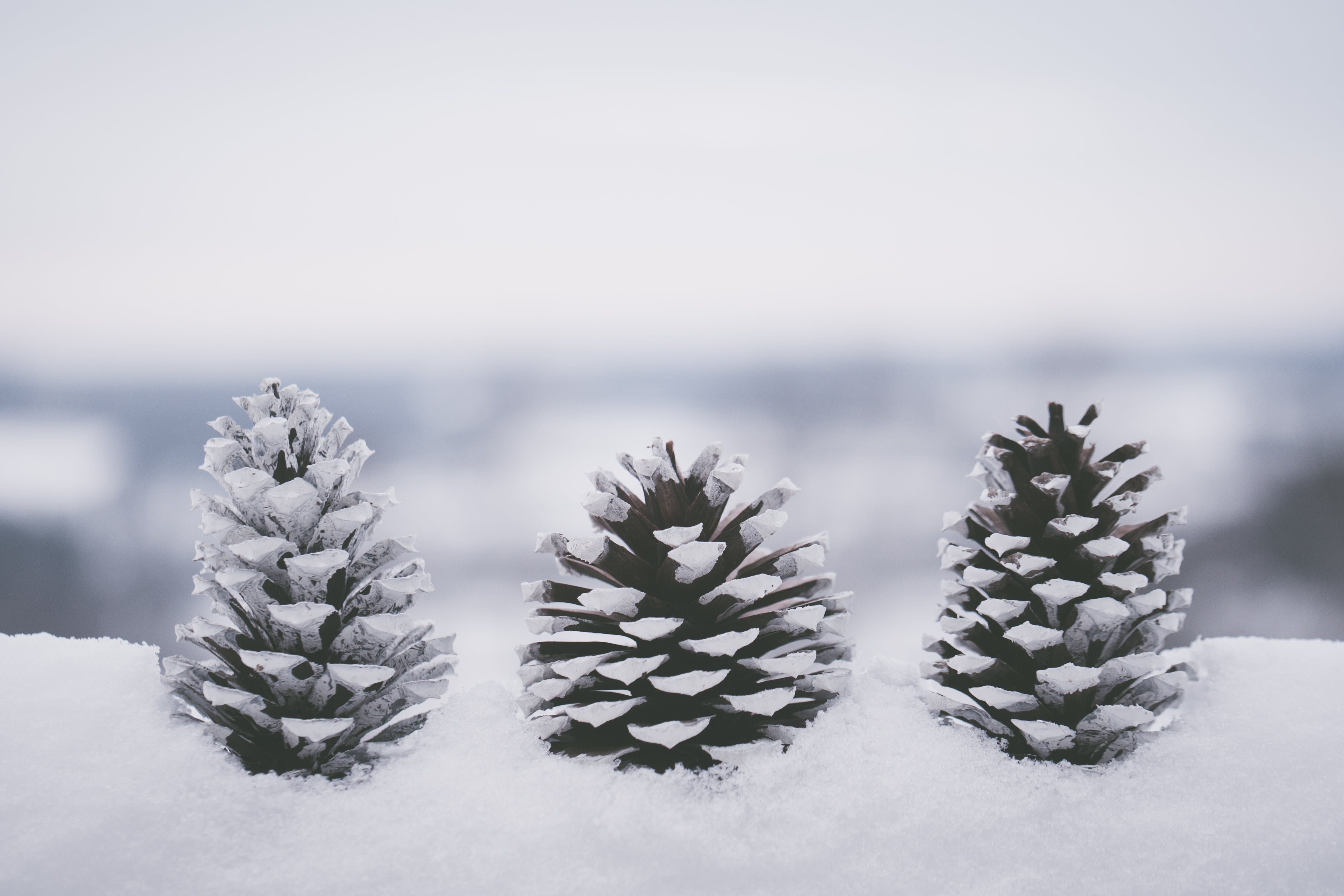 Conifer Cones Covered In Snow