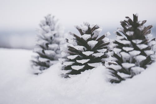 Three Brown Pine Cones On Snow Close-up Photography