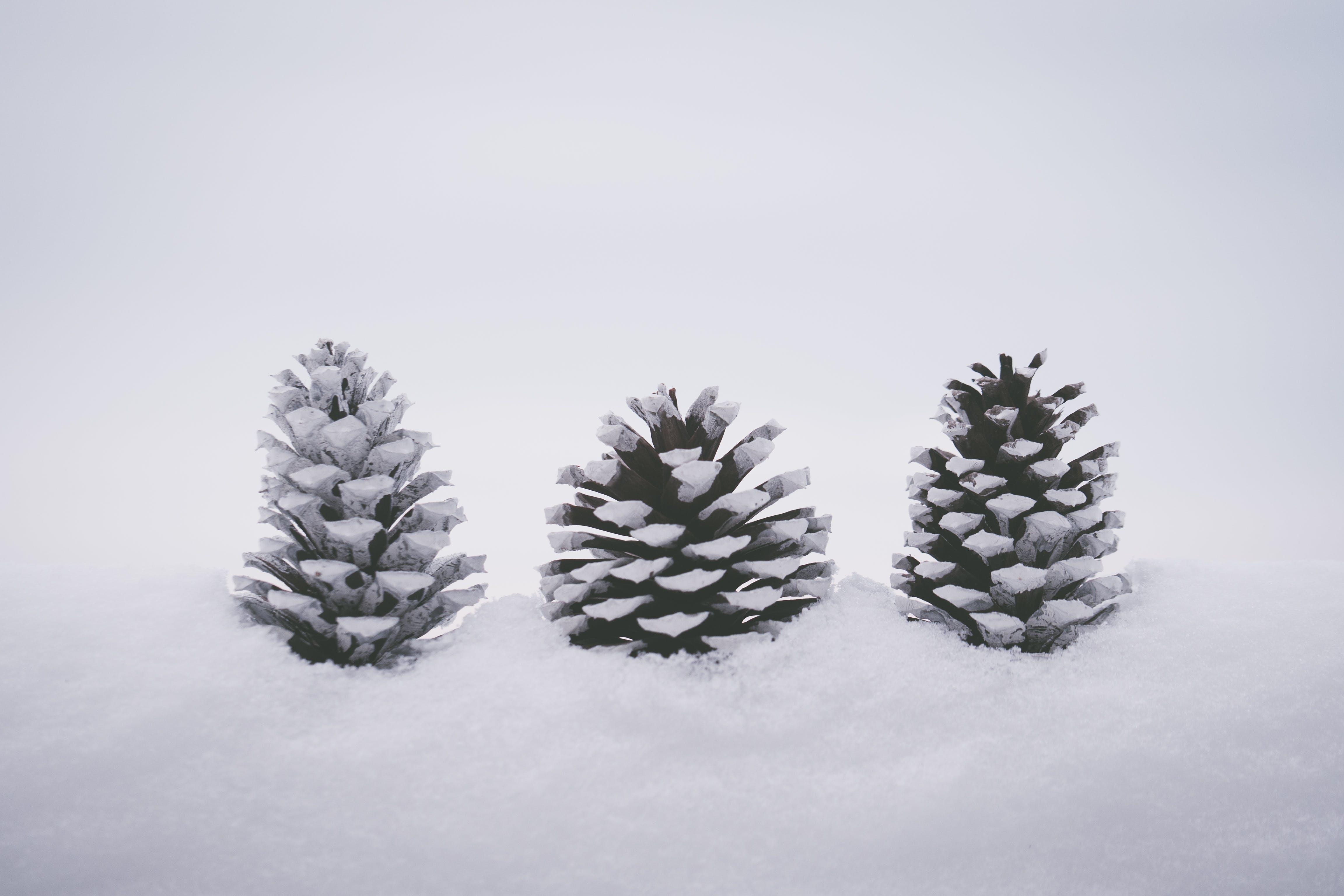 Three Pine Cones On Snow