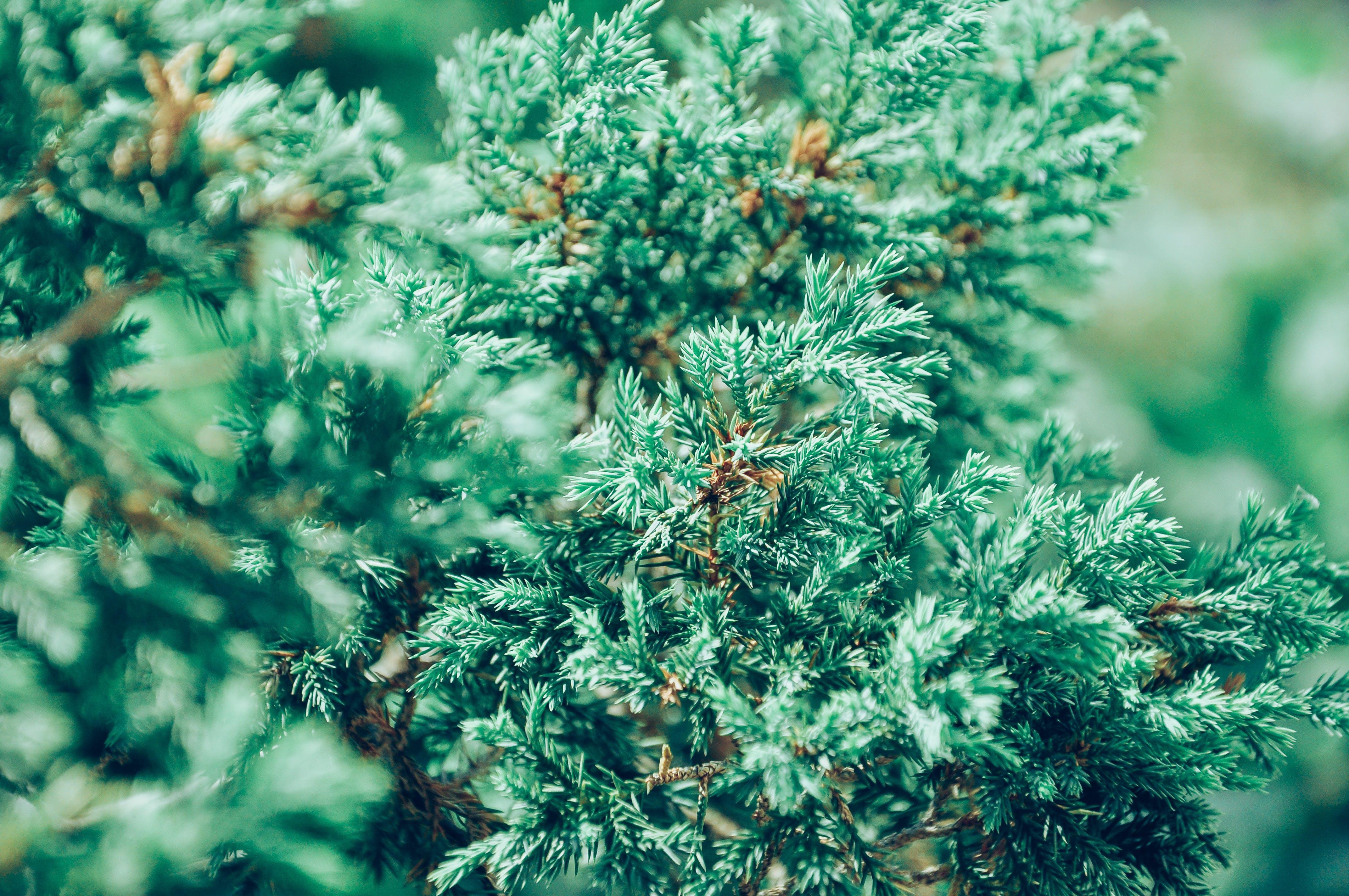 Green Pine Tree Selective Focus Photography